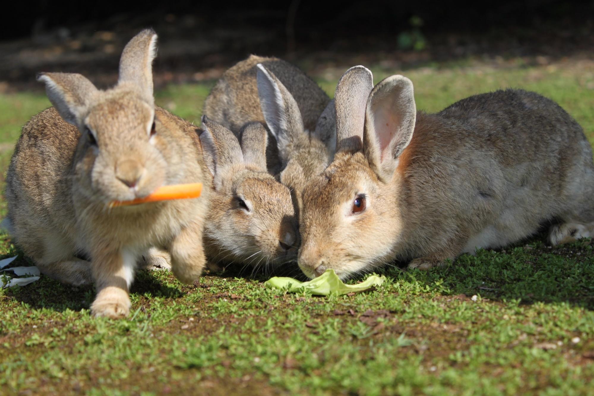 餌を取り合うウサギ